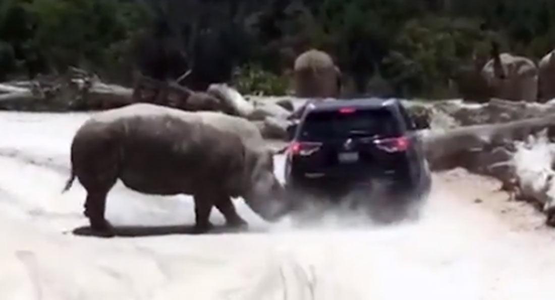Огромный носорог продырявил внедорожник в Мексике (Видео)